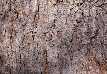 Bark of an old tree in the park as texture.
