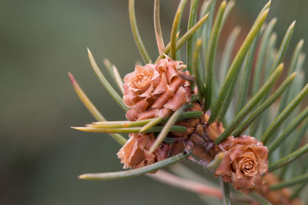 Fir-tree branch with the young growing cones. Spring. Close up. Macro Banco de Imagens