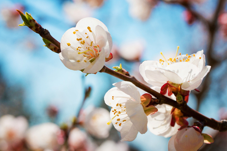 Blossoming twig of cherry-tree against the background of the blue sky. White petals flowers close-up. Springtime. Spring flowers blossom background. Close up