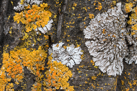 The bark of an old tree covered with a moss and lichens as structure. Tree bark against the background of. Structure of bark of a tree. Wooden background. Colors of the nature. Close up. Macro Stock Photo