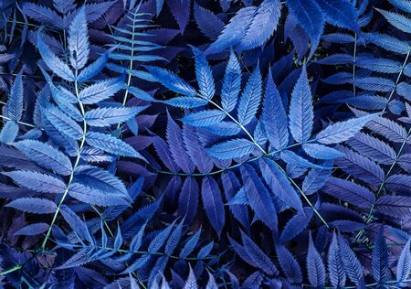 Blue Violet leaves abstract background, fresh toned leaves. Backdrop for design. Fabulous magical art images. Zdjęcie Seryjne