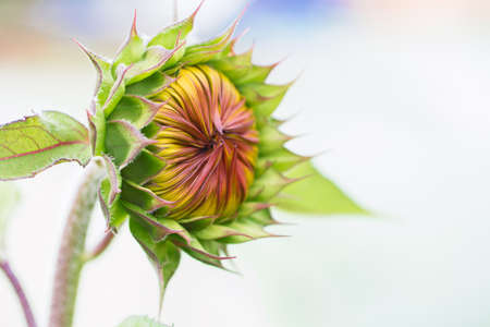Unopened sunflower bud. Close up. Macro. Selective focus. Abstract background.