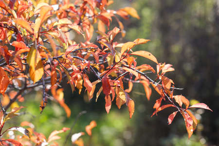 Red leaves of the plum tree on a sunny autumn day. Red, orange tones of autumn withering. Mid of fall. Selective focus.