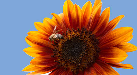 A sunflower flower with bees against the blue sky on a sunny summer day.