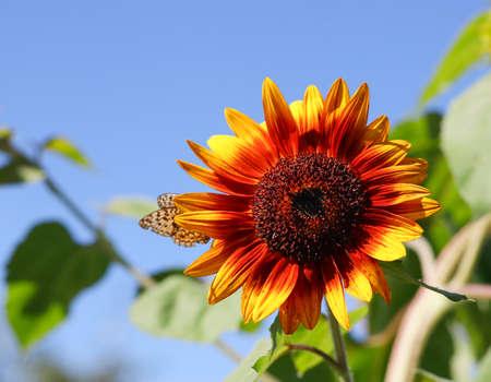 Sunflower flower against the blue sky on a sunny summer day.