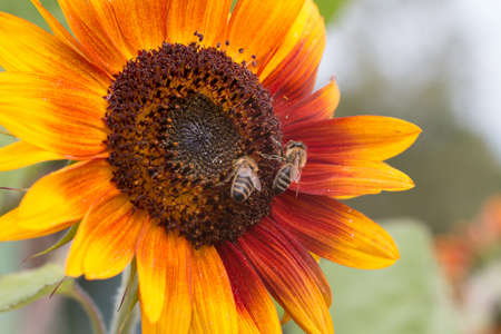 A sunflower flower with bees on a green background on a sunny summer day.