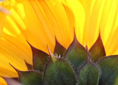 The underside of the sunflower. Close up. Macro. Abstract background