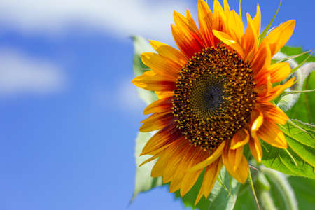 Sunflower against the blue sky on a sunny summer day.