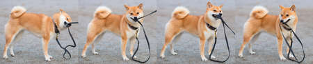 A young red dog Shiba inu plays with a leash in the street. Collage. Banner