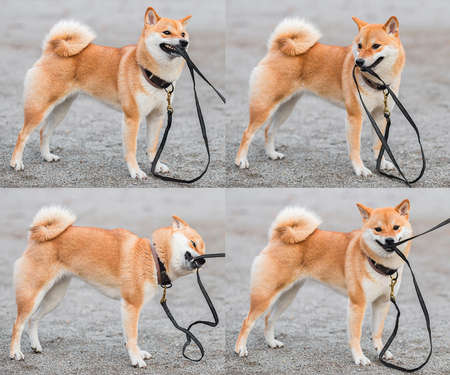 A young red dog Shiba inu plays with a leash in the street. Collage. 스톡 콘텐츠
