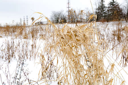 snowy field: Tall winter grass stands cold in a snowy field. Stock Photo