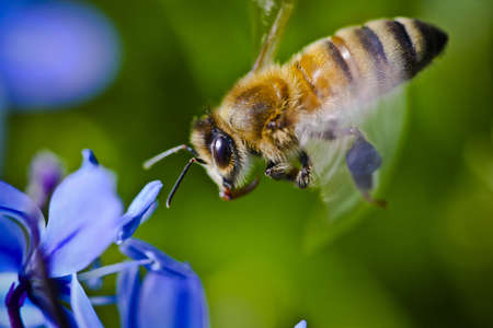 proboscis: A honey bee with proboscis extended ready to land on a violet
