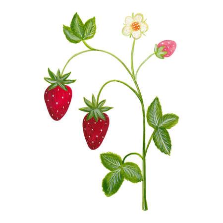 strawberry plant: Artwork  strawberry plant