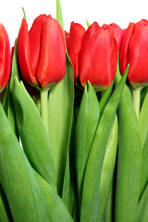 Beautiful red tulips on white Stock Photo - 11820318