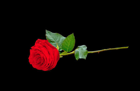 Single red rose Stock Photo - 12328961