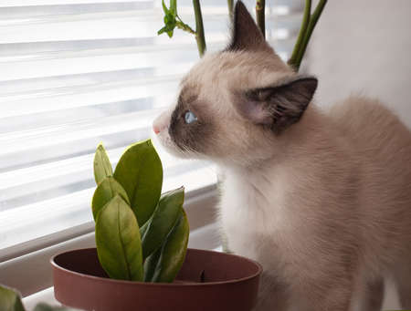sniff: little kitten, breed Snowshoe, sniff home plant Stock Photo