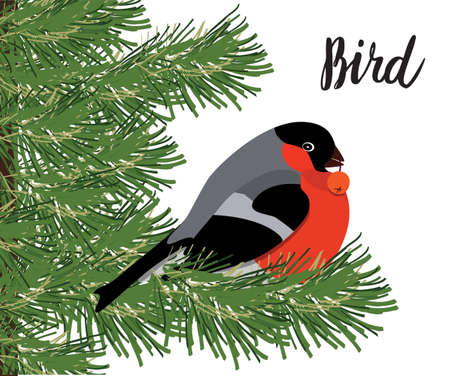 rowanberry: Bullfinch with rowanberry sitting on conifer branch, isolated on white background, vector illustration Illustration