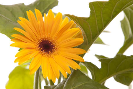 A yellow  summer time isolated gerbera with green leaf Stock Photo - 7021972