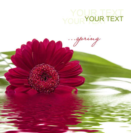 rosa: pink gerbera with green leaf  in water  Stock Photo