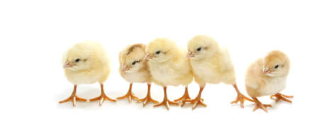 isolated five easter chicken standing in line