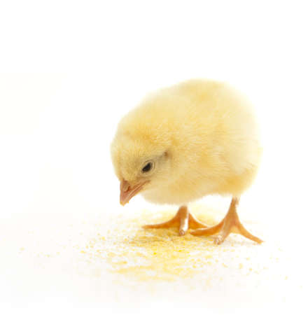 isolated chicken eating corn meal Imagens - 8972534