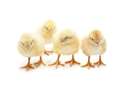isolated chicken standing in line Stock Photo - 8972535
