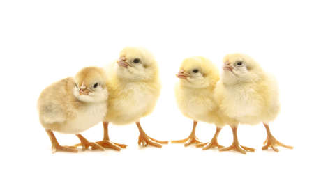 four newborn chicken in line