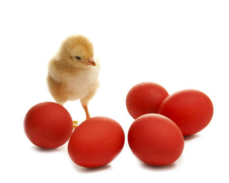 isolated easter chicken with  red egg