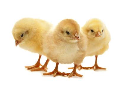 aves de corral: isolared pascua pollo - Felices Pascuas Foto de archivo