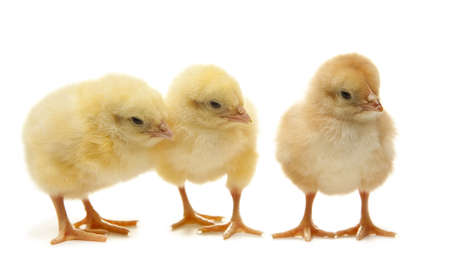easter chick: yellow easter chicken - happy easter