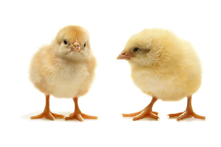 two yellow easter puffy chicken Imagens