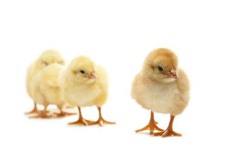 gallina con huevos: Los pollos aislados en un fondo blanco