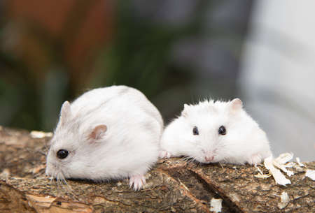 two hamster haveing fun, white domestic animal