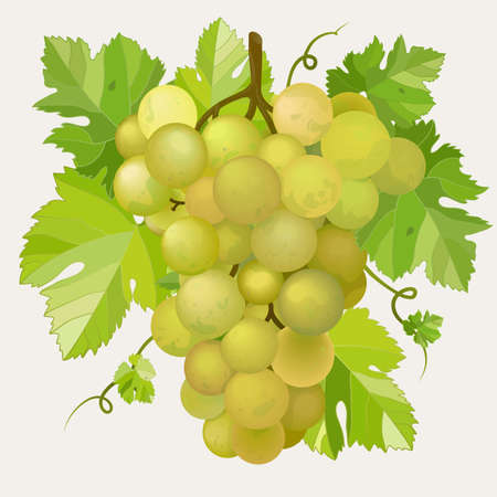 vitis: Green grapes with green leaf.  Illustration