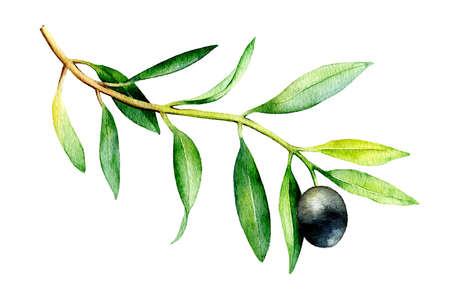 Gráfico de la acuarela de la rama de olivo aislado sobre fondo blanco. Ilustración dibujados a mano con aceite de oliva negro.