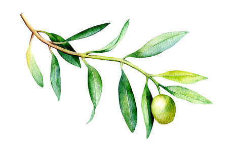 Watercolor drawing of olive branch isolated on white background. Hand drawn illustration.