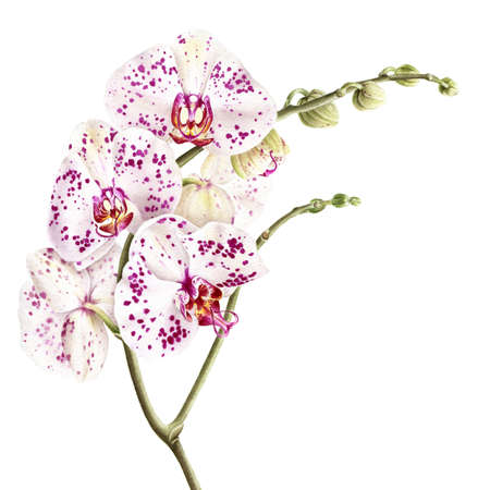Watercolor phalaenopsis orchid branch isolated on white background.