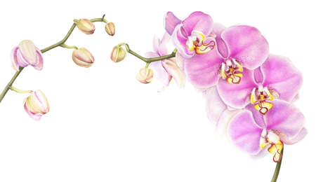Pink watercolor phalaenopsis orchid isolated on white background. Stock Photo