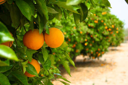 Green orange tree, lots of fruits photo