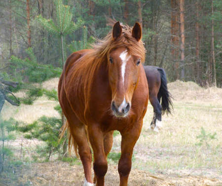 Brown horse on a background a pine-wood photo