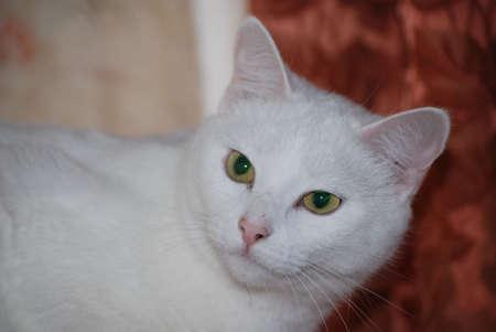 white cat with large beautiful eyes photo