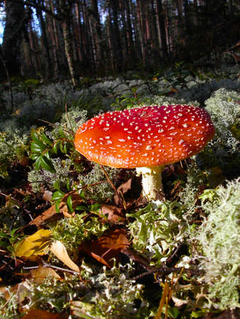 Red fly agaric close-up shot photo