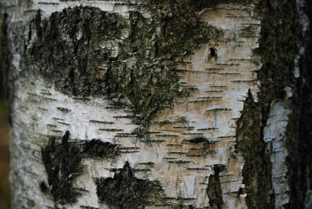 cranny: Natural bark of birch useful for background