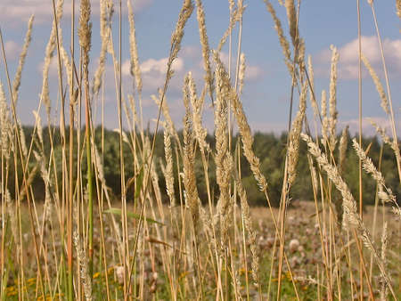 horrizon: High grass on a field with blue sky Stock Photo