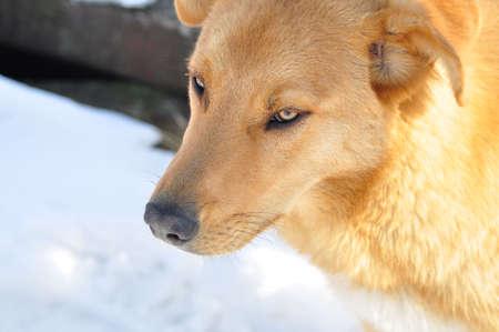 beautiful red dog photo