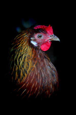 Brown-feathered hen. Stock Photo - 4507996