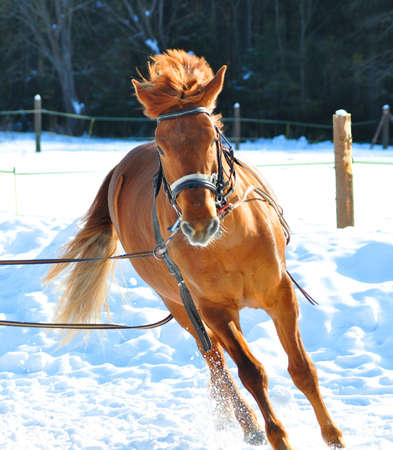Horse running in winter, countryside in the background. photo