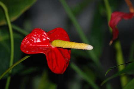 waterlillies: Anthurium Flower
