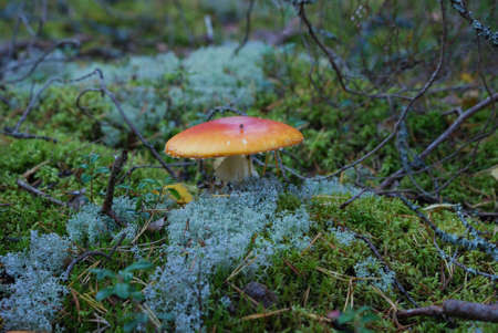 skewbald: Red fly agaric close-up shot