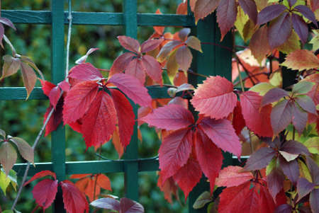 Red leaves of vine are in autumn on a background a green fence photo